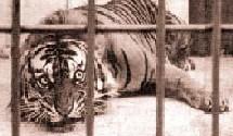 Le tigre dans sa cage (Léon Bloy, Albert Frank-Duquesne)